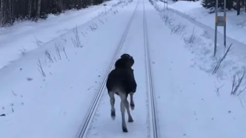 Moose Challenges Train | Train Fanatics Videos
